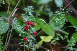 camaswood_berries